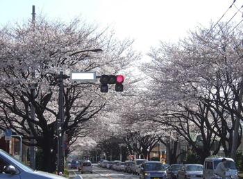 Sakura_0_1